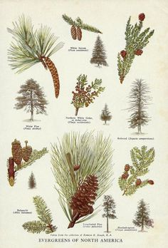 Vintage Evergreen Trees Pine Cones of North America Illustration Art - 1944 Botanical Book Plate - Spruce Pine Redwood Cedar Tree Wall Decor Vintage Evergreen Trees Pine Cones of North by zippitydoodlepaper Cedar Trees, Evergreen Trees, Botanical Drawings, Botanical Prints, Tree Illustration, Illustrations, Pine Tree Art, Tree Tree, Flora