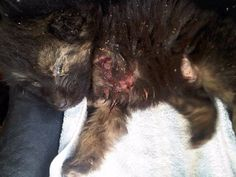 Justice for Angel, puppy fed to two pitbulls through fence by 13-year-old boy!