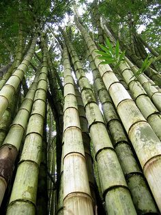 Fresh Giant Bamboo Seeds Rare Blue Bamboo Bambu Seeds Bambusa Lako Tree Seeds For Home Garden Planting