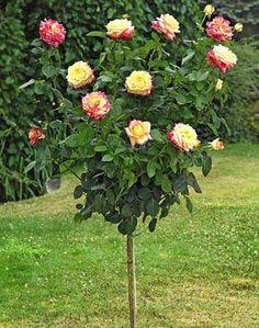 Rose ad alberello online dating