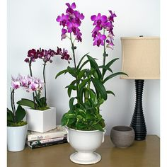 Bring life to indoor spaces with these rich fuchsia blooms that look like tropical butterflies. Our 2 Dendrobiums produce exotic blooms that open for weeks along slender stalks, and a handsome, variegated Pothos plant provides additional interest. Like the rest of our Orchids, Dendrobiums are easy to care for in homes or offices in bright, indirect light. We ship 2 fuchsia Dendrobiums in an 6¾″ white ceramic urn, accented with a Pothos plant.