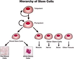 stem cell therapy for alzheimers disease stem cells  stem cell research debate essay structure stem cell medical breakthrough stem cell the stem cell research debate essay cancer drugs and grow them on a