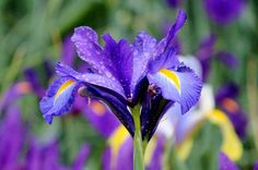 blue-purple-iris-cynthia-guinn.jpg (900×598)