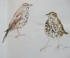 Scribbly sketchbook song thrushes by Lisa Toppin.