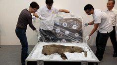 """The remains of the world's most well-preserved baby mammoth - named """"Lyuba"""" - have gone on display in Hong Kong. (Photos by BBC Chinese: Jinsong Chen)"""