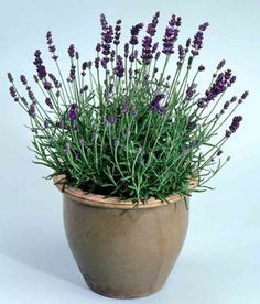 New Annuals and Perennials Available Now for the Garden: Lavender 'French Perfume' (Lavandula angustafolia) Balcony Garden, Herb Garden, Vegetable Garden, Garden Plants, House Plants, Garden Seeds, Patio Plants, Lavender Seeds, Potted Lavender