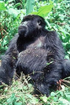 Western lowland gorilla sitting in grass, 1983, W. & G. Garst Photographic Collection, University Archive, Archives and Special Collections, CSU, Fort Collins, CO