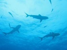 reef sharks - bahamas