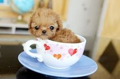 ♥♥♥ Red Teacup Poodle ~ Jocelyn ~ expecting to weigh 2 1/2 lbs full grown. ♥ Now that IS small.: