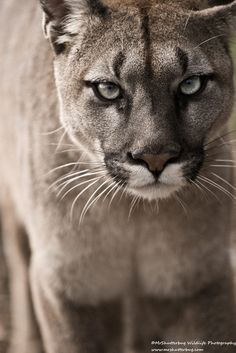 Cougar Close up by MrShutterbug Jonathan Griffiths on 500px