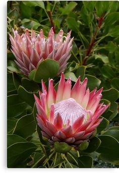 Photograph of Protea taken in the Blue Mountains, NSW Australia. Flor Protea, Protea Plant, Protea Flower, Exotic Flowers, Amazing Flowers, Beautiful Flowers, Rosen Arrangements, Flower Arrangements, Australian Native Flowers
