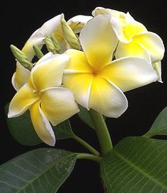 Plumeria... one of my favorites!  As soon as you step off the plane in Hawaii's Big Island it smells like plumeria!  The whole island smelled like them wherever we went!