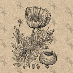 Retro drawiing Poppy Flower Vintage image Instant by UnoPrint