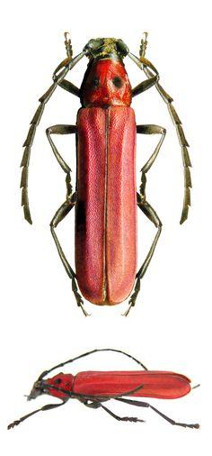 Erythrus blairi