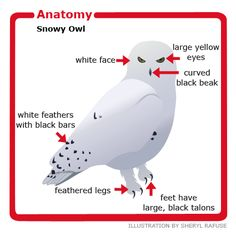 Anatomy of the Snowy owl