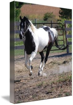 """""""Paint+HorseBlack+and+White+Pinto""""+by+Roseann+Riggi-Knudson,+Bartlett+//+beautiful+galloping+black+and+white+Pinto+//+Imagekind.com+--+Buy+stunning+fine+art+prints,+framed+prints+and+canvas+prints+directly+from+independent+working+artists+and+photographers."""