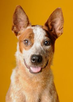 Australian Cattle Dog. Available for adoption HHHS.