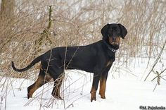 A black and tan Polish Hunting dog is standing outside in snow surrounded by tall brown grass.