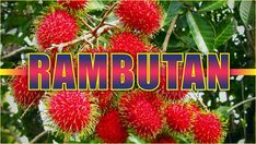 What Is A Rambutan? It is a medium-sized tropical tree and belongs to the family Sapindaceae. Scientifically called Nephelium lappaceum, the name rambutan al. New Things To Learn, Cool Things To Buy, Stuff To Buy, Netflix Gift, Leather Repair, Cool Gadgets To Buy, Easy Food To Make, Luxury Watches For Men, Delicious Fruit