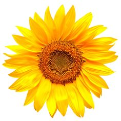Find Sunflower Isolated On White Background stock images in HD and millions of other royalty-free stock photos, illustrations and vectors in the Shutterstock collection. Gif Terror, Video Rosa, White Background Photo, Vincent Van Gogh, Botany, Vector Graphics, Photo Editing, Stock Photos, Diet Motivation