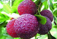 Israeli Myrica Rubra * Chinese Bay-Berry * Morella Rubra *Subtropical Rare Seeds #MyricaRubra