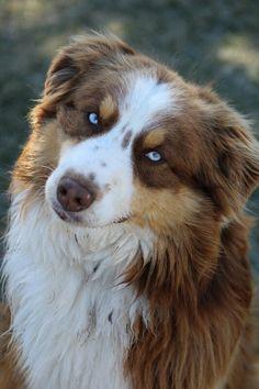 Blue eyed beauty. Australian Shepherd