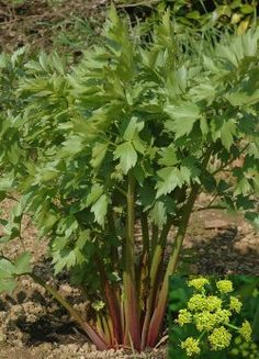 Lovage.. it is a perennial celery Lovage is near the top of the list of naturally occurring sources of quercetin (an anti-inflammatory, anti-oxidant and anti-cancer agent), just behind tea, red onions and capers. A root decoction can also be used to treat sore throats and external ulcers, or added to bath water for skin problems.