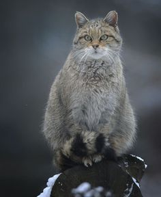22 Best Gordons Wildcat Also Named Arabian Wildcat Images In 2019