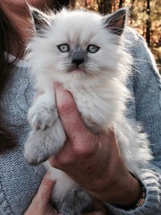 Our Himalayan cat when she was a baby! Himalayan Persian Cats, Himalayan Cat, Long Haired Cats, Siamese, Cats And Kittens, Pets, Baby, Animals, Animales