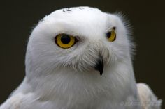 jaws-and-claws:  _W9H4409 Snowy Owl Portrait by asbimages.co.uk on Flickr.