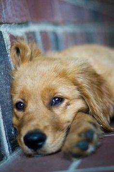 Baby Dogs, Pet Dogs, Pet Pet, Weiner Dogs, Beautiful Dogs, Animals Beautiful, Perros Golden Retriever, Golden Retrievers, Cute Puppies