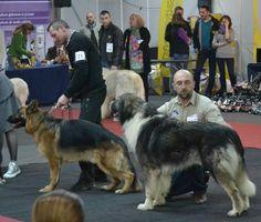 Carpathian Shepherd and German Shepherd,Canisa de Transilvania (Kennel Transylvania)