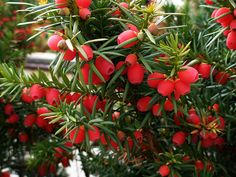 Yew tree & red berries (I've always loved these berries...so pretty!)
