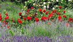 Pěstování levandule prospívá růžím