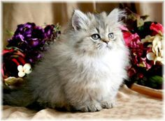 my daughter wants one of these for her bday...its called a rug hugger and is a teacup persian cat.....gets as big as a soda can....Im thinking i would rather get another golden retriever.