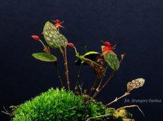 Lepanthes Cordeliae | lepanthes calodictyon lepanthes caprimulgus lepanthes cordeliae ...