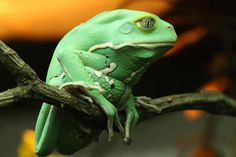 Waxy Monkey, Tree Frog - Pixdaus