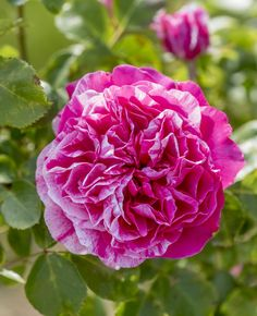 Raspberry Cream Twirl™ is the first striped climber with a classic rose exhibition type flower. It is also one of the few striped climbers to have better than average disease resistance. The striping is very consistent and can be noticed even from a distance.