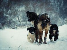 Karakachan (Bulgarian Shepherd Dog) Bulgarian Karakachan Dog / Bulgarian Shepherd or Sheepdog / Karakachanska Ovcharka (Livestock Guardian dog)