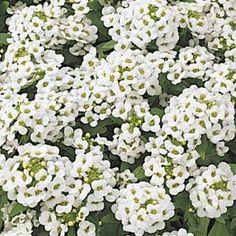 Alyssum - a fragrant, hardy annual for Texas soils Rock Garden Plants, Garden Shrubs, Shade Garden, Landscaping With Rocks, Front Yard Landscaping, Back Gardens, Small Gardens, White Flowering Plants, Gothic Garden