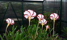 Oxalis versicolor (candycane sorrel).jpg