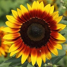 """Pic from one of my #Zen Moments #articles """"Sunflowers"""" -- They're my favorite #flowers! #sunflower #sunflowers #motherearth #mothernature #myzenmoment #mysister #zenmoment #zenmoments #moonszenmoments #mooncho #yingyangliving #yingandyangliving"""