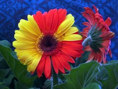 Variegated gerbera Photo by on Deviantart Gerber Daisies, Chimera, Gerbera, Beautiful Flowers, Daisy, Projects To Try, Plants, Deviantart, Margarita Flower
