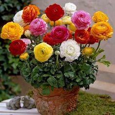 20 rizomas de ranunculos mix-planta exótica-flor ornamental