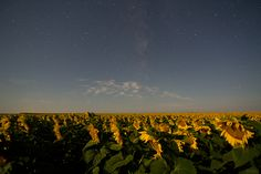 Fun with long exposure... had to be a perfectly still night to not blur the sunflowers!