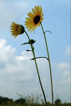 Sunflowers and the Blue Sky by Karen Roie Forest