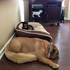 ❤ There is just something about a bed - that doesn't fit - it's just FUN to try, I guess. ❤ Posted on ENGLISH BULLDOG