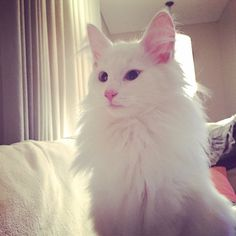 Snowy The Flake, beautiful white norwegian forest cat! Norwegian Forest Cat, Good Hair Day, People Like, Cool Hairstyles, Cats, Instagram Posts, Animals, Beautiful, Gatos