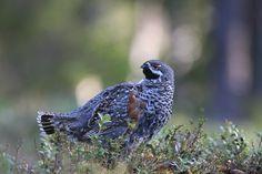 Grouse, Owl, Bird, Animals, Animales, Animaux, Owls, Birds, Animal