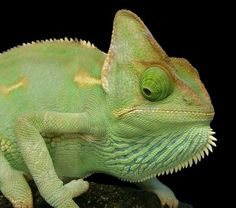 This beautiful green veiled chameleon sums up how splendid this species can be with different shades of just one color. Chameleons are, of course, some of nature's great color changers, and the male veiled chameleon can shift from bright lime green to a duller red olive tone, depending on its emotional state and surroundings.
